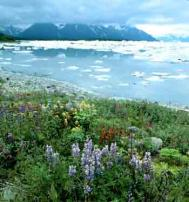 Paintbrush, lupins, fireweed and icebergs, Russel Fiord Wilderness, Alaska. Photograph: Howie Garber