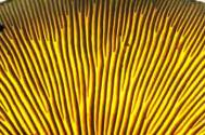 Mushroom gills Photograph: Steve Taylor/Science Photo Library