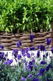 Raised beds and lavender hedging Photograph: Jo Oland