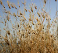 Interesting Grasses, Photograph: Matthew Scherf/Istock