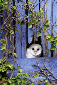 Barn Owl by David Tipling