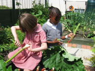 Pupils from the Spire Infant School in Chesterfield trim rhubarb as part of their school growing project. Photograph: courtesy Garden Organic