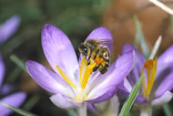 Honeybee on crocus. Photograph: Gordon Maclean/osf.co.uk