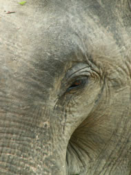 Indian Elephant Photograph: Rob Swan