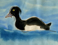 Tufted Duck by Jill Paine