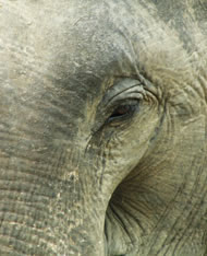 Indian Elephant. Photograph: Courtesy Rob Swan