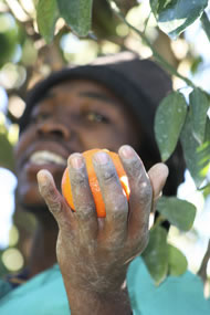 A Fairtrade farmer growing citrus in South Africa. Photograph: Naomi Kranhold