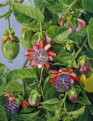Painting: Marianne North. Courtesy Royal Botanical Gardens, Kew