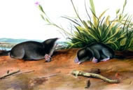 Brewer's Shrew Mole by John James Audubon. Courtesy: Academy of Natural Sciences of Philadelphia/corbis