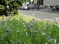 Cornflowers, poppies and ladies smock growing alongside a city street © Anne Carter Van Roy