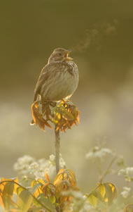 Corn Bunting singing at dawn © Chris Lloyd www.c-m-l.com