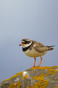 Ringed Plover © Chris Lloyd www.c-m-l.com