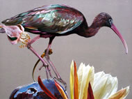 Hadeda Ibis by Anne Middleton www.annemiddletongallery.com