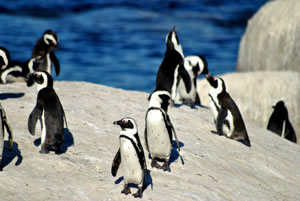 African penguins on Boulders Beach, Cape Town © simonwarren / Shutterstock