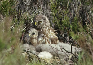 A Hen harrier nesting with her chicks, Scotland © Peter Moore / FLPA